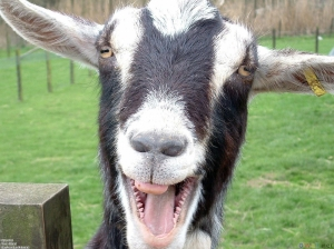 This goat is not metal. But he is fabulous and relevant to this movie. Kinda.
